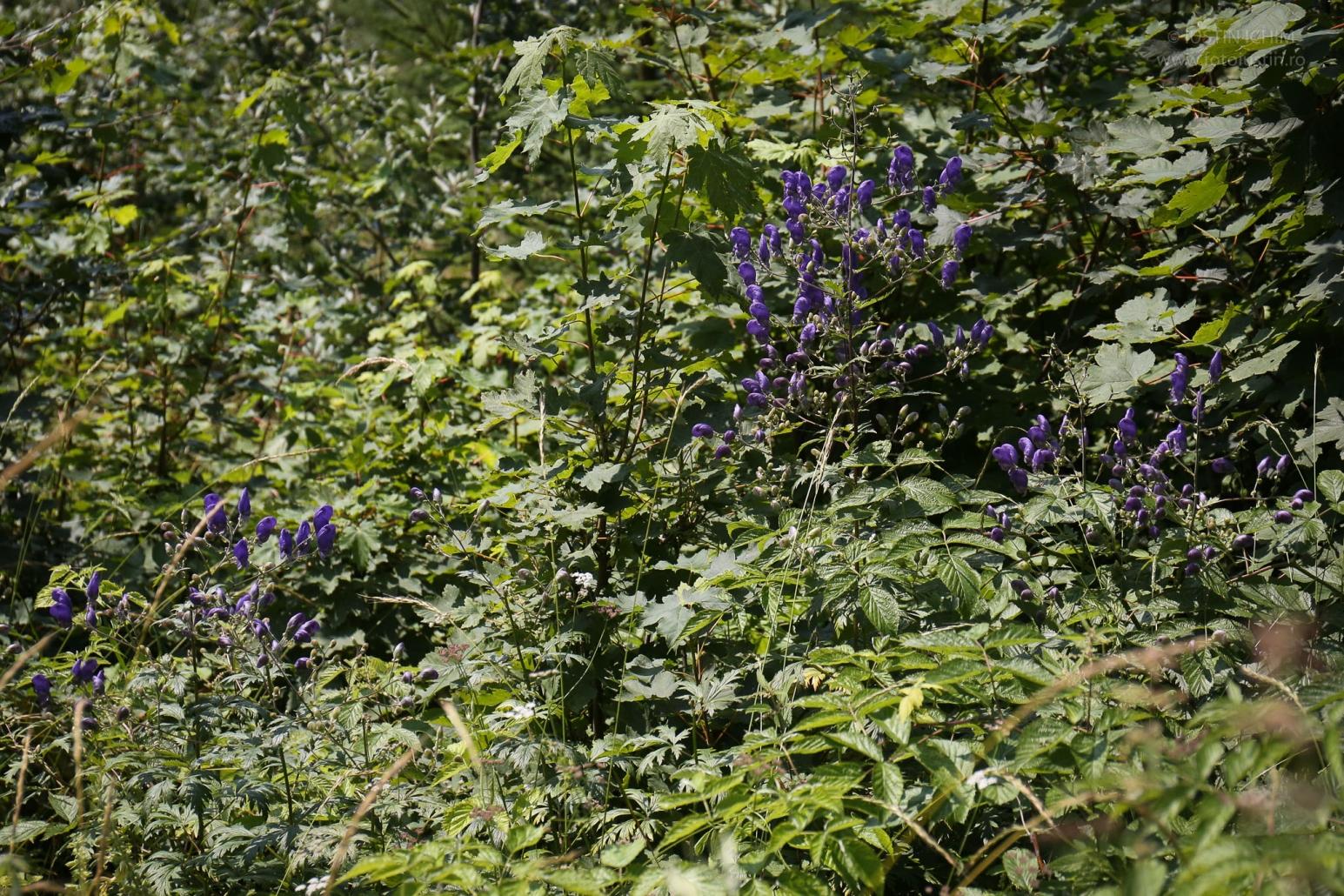 Aconitum, Omag