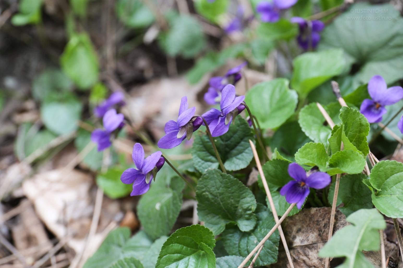 Toporași, Viola odorata
