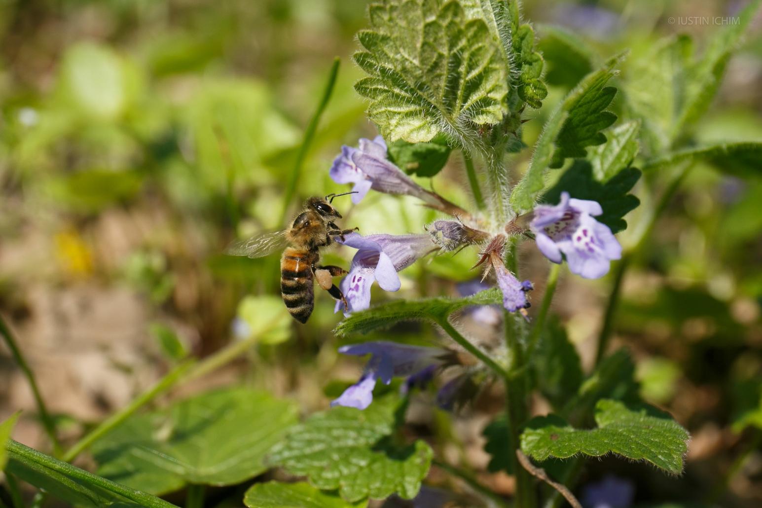Albină culegând polen