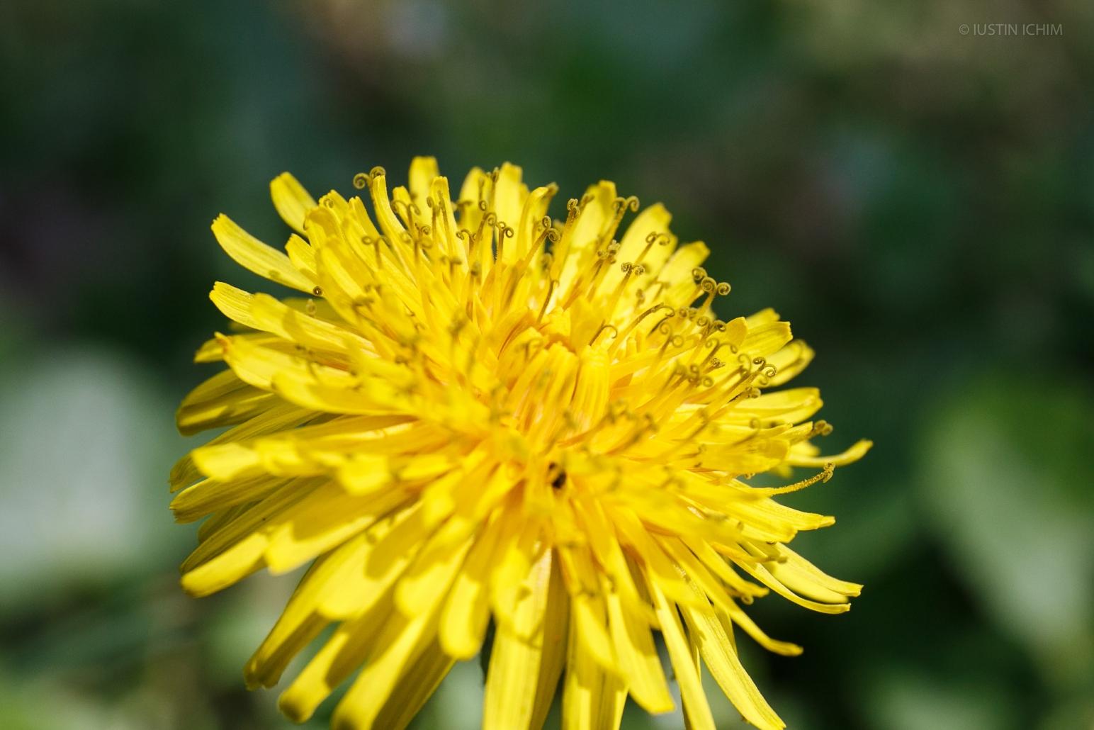 Floare Păpădie, Taraxacum officinale