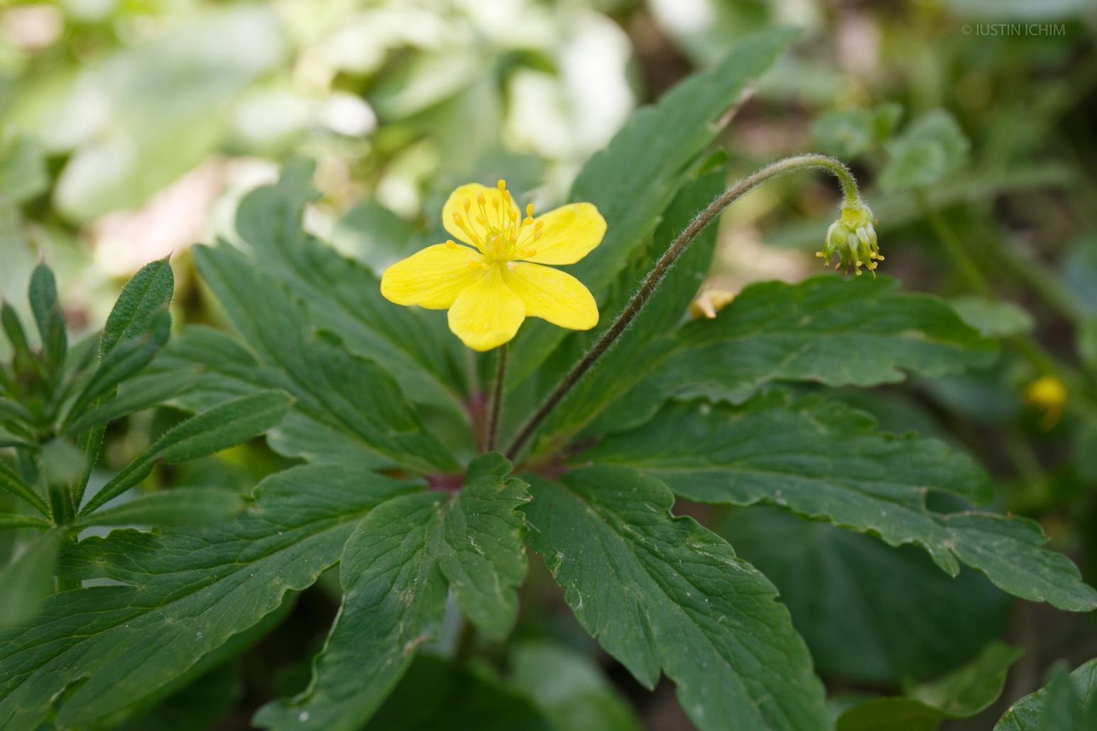 Anemone ranunculoides, păștiță, planta toxica!