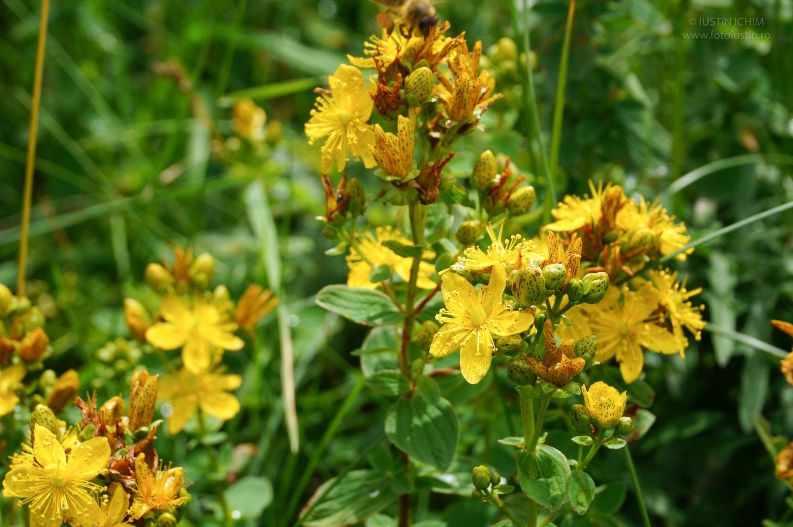 Hypericum perforatum, Sunătoare, Plante medicinale, ceaiuri