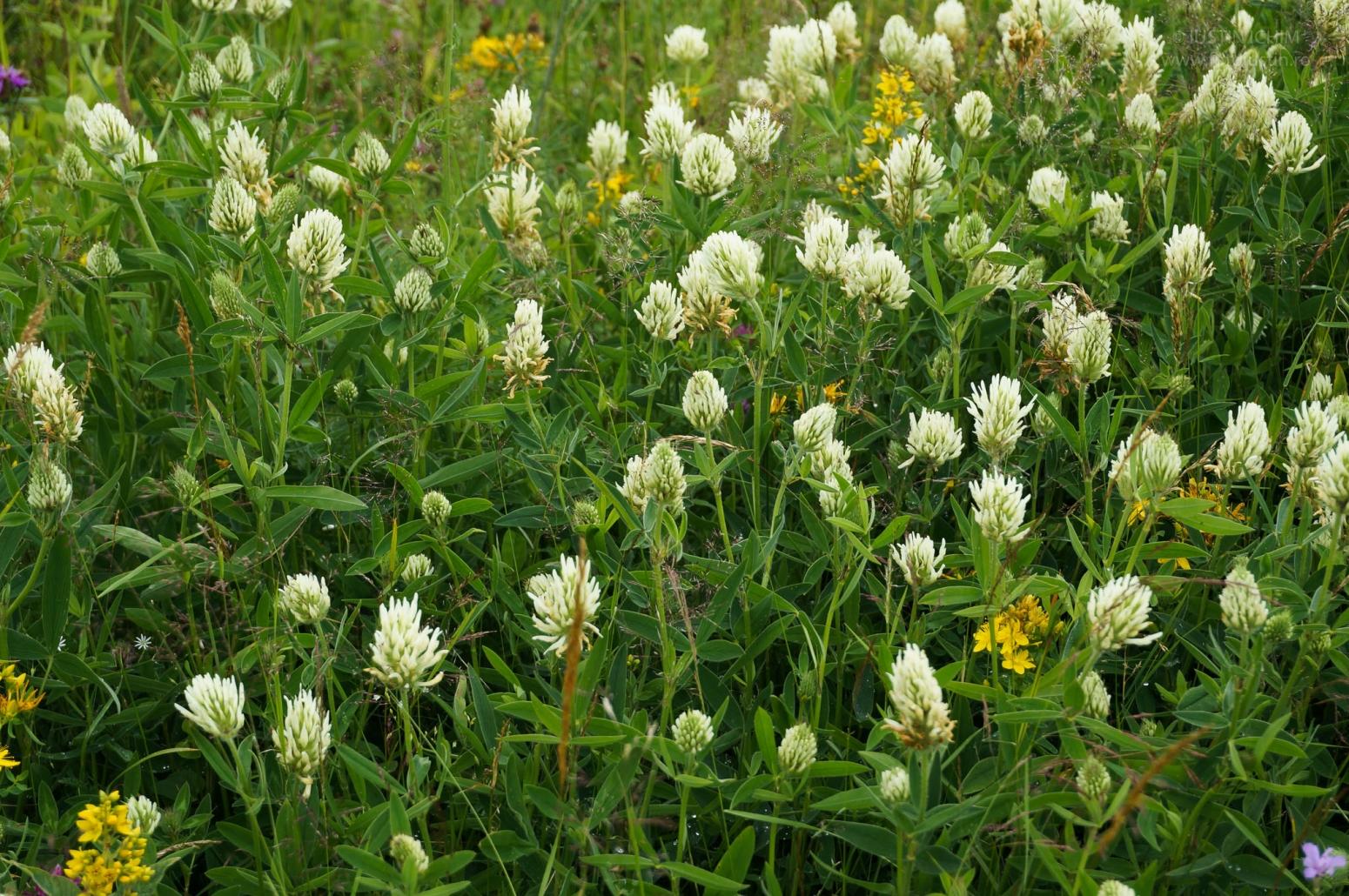 Trifolium montanum, Trifoi de munte