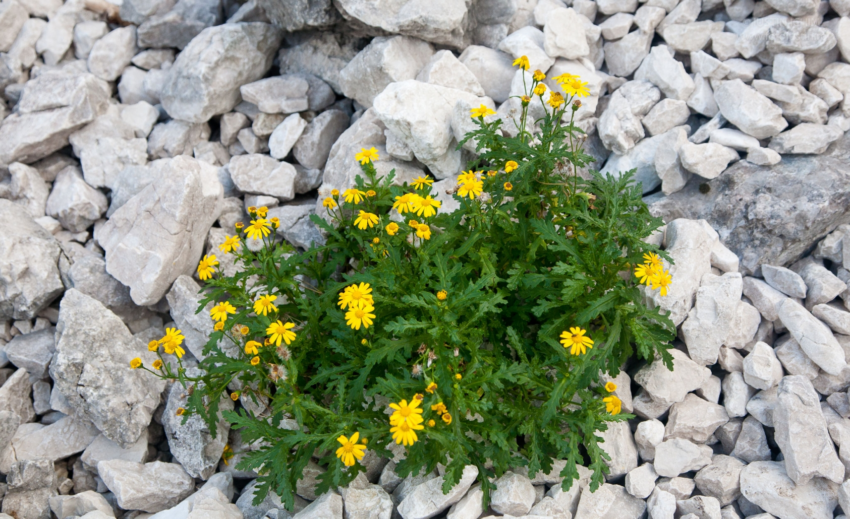 Senecio squalidus subsp. rupestris, Piatra Craiului