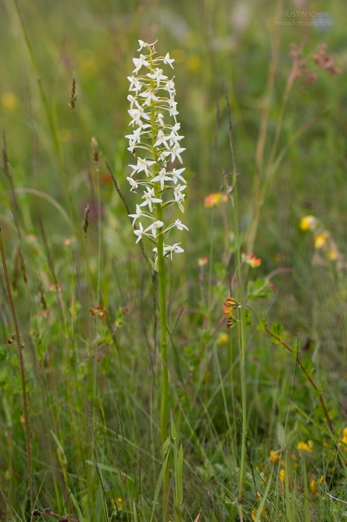 Platanthera bifolia, Stupiniţă, Orchidaceae, Orhidee fluture, Romania