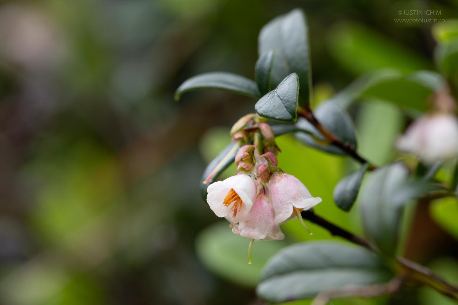 Flori Merișor, Vaccinium vitis idaea, plantă medicinală