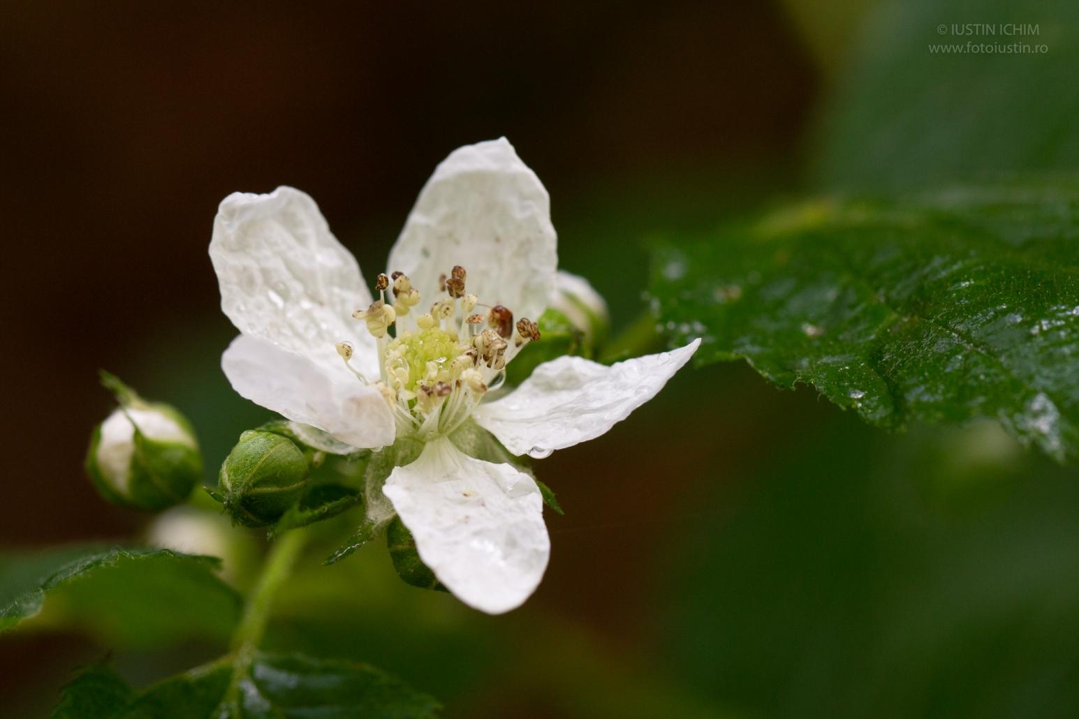 Rubus fam. Rosaceae, murele sau zmeura