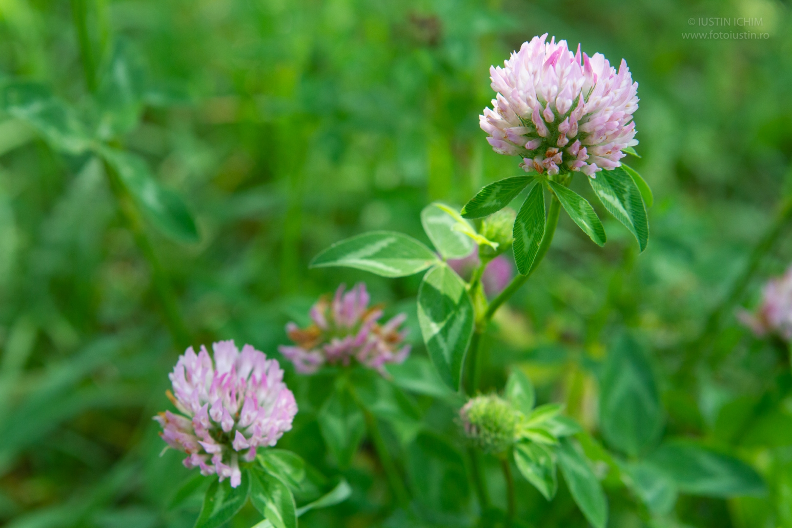 Trifolium pratense, Trifoi roşu, fam. leguminoaselor, Fabaceae
