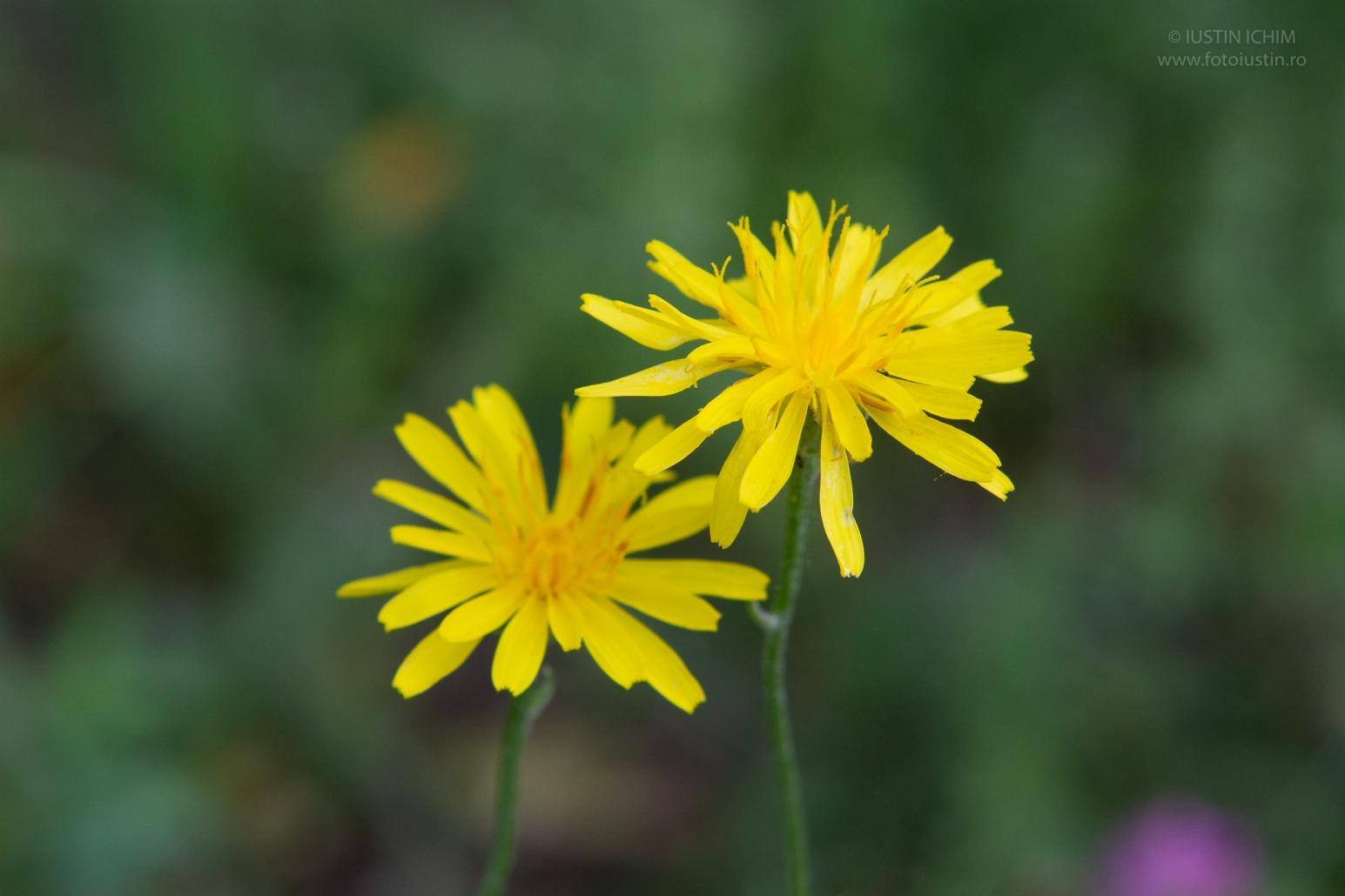 flori galbene, flora spontană