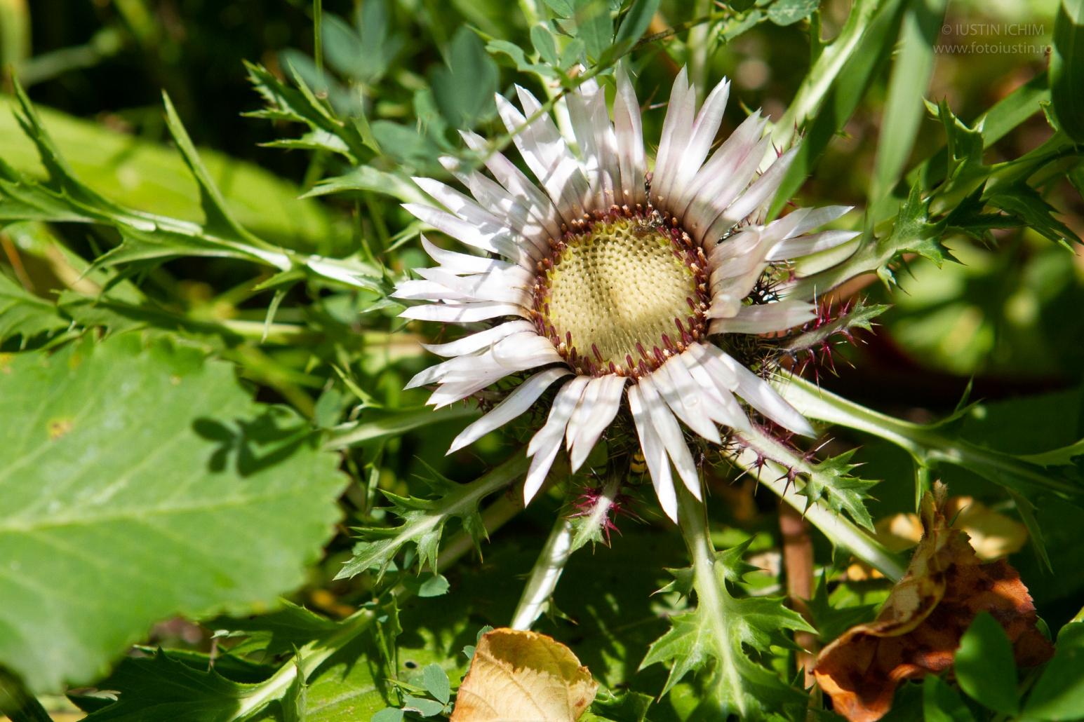 Ciurul zânelor, Carlina acaulis, Turta, fam. Asteraceae, Plante medicinale