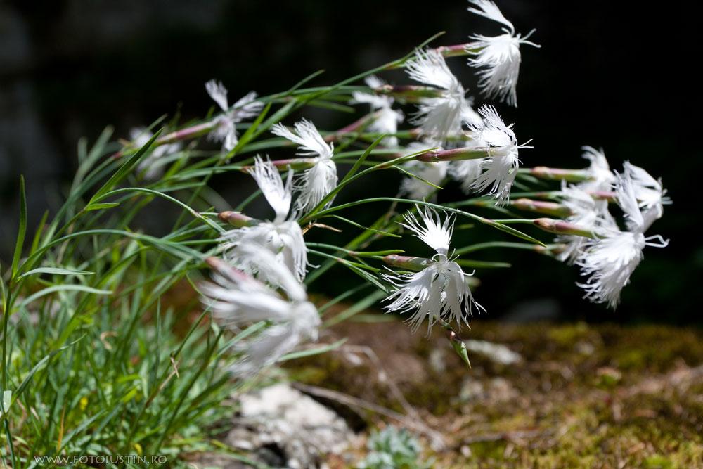 Dianthus spiculifolius, Garofiță albă de stânci