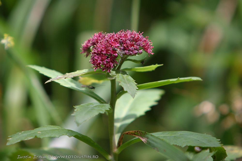 Sedum telephium, Norocel, plantă medicinală