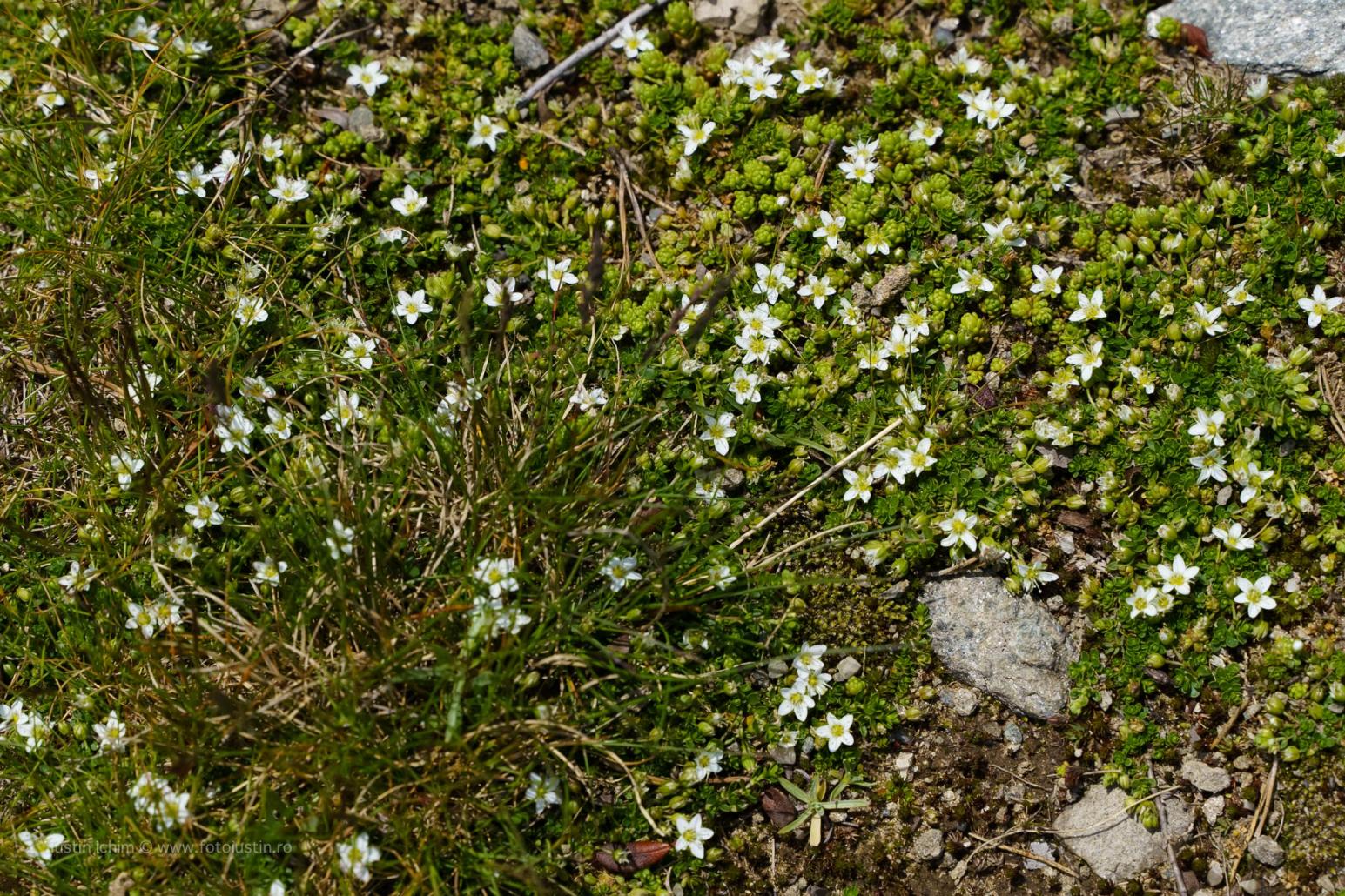 Arenaria biflora ?