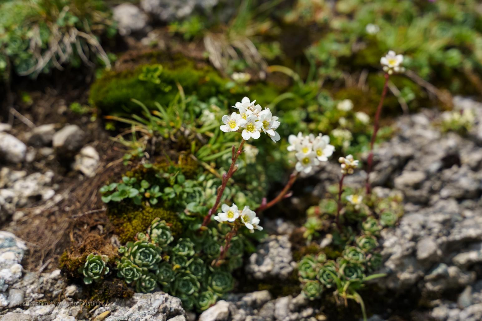 Saxifraga paniculata, Iarba surzilor