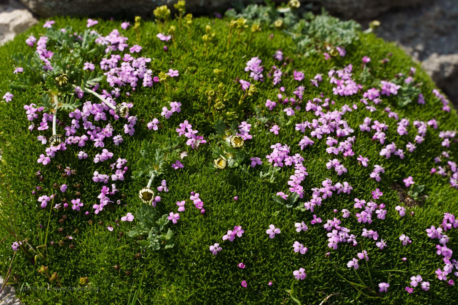 Silene acaulis, Iarbă roșioară, fam. Caryophyllaceae