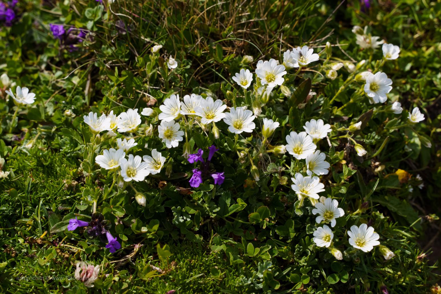 Cerastium alpinum, Cornuț de munte