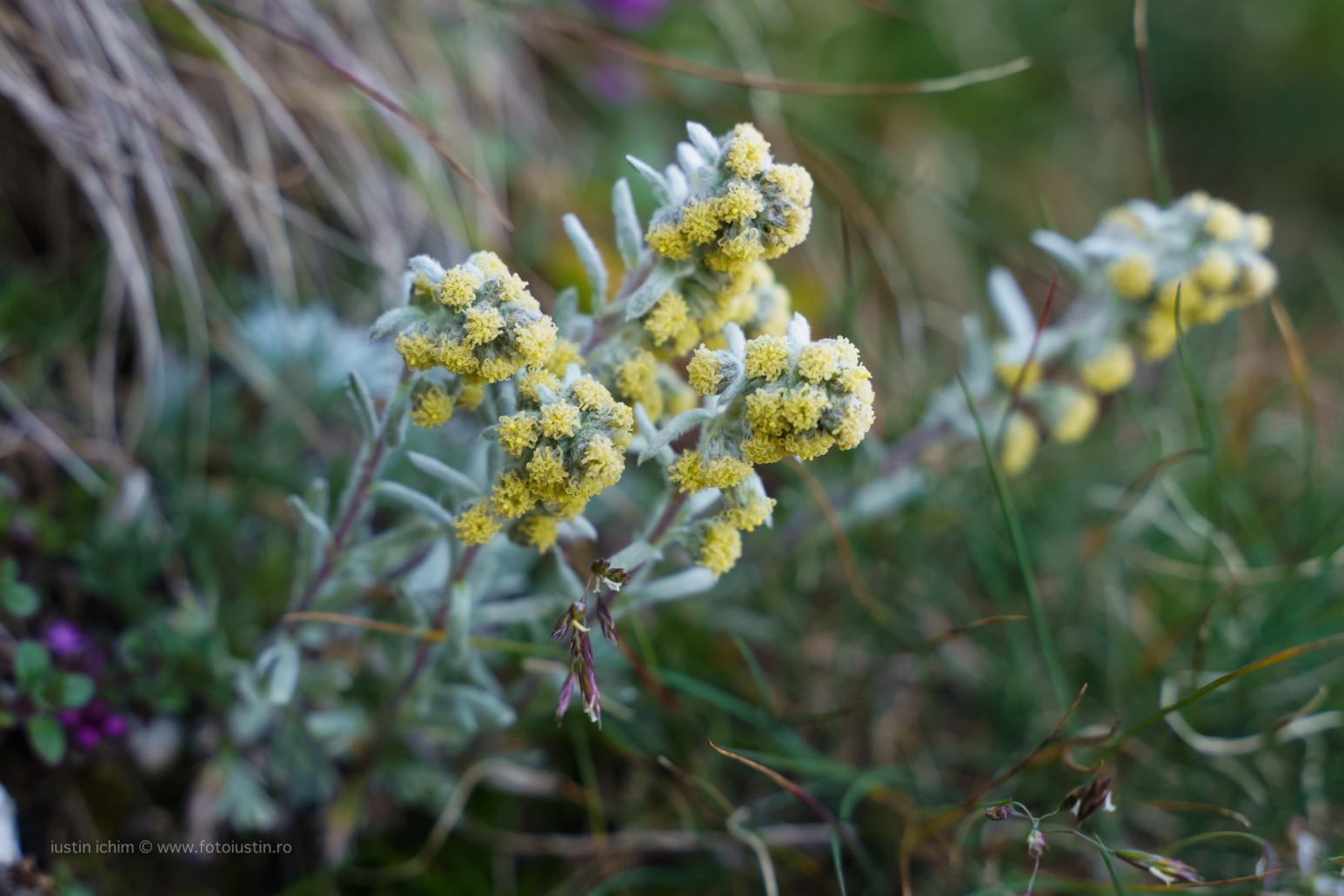 Artemisia umbelliformis subsp. eriantha