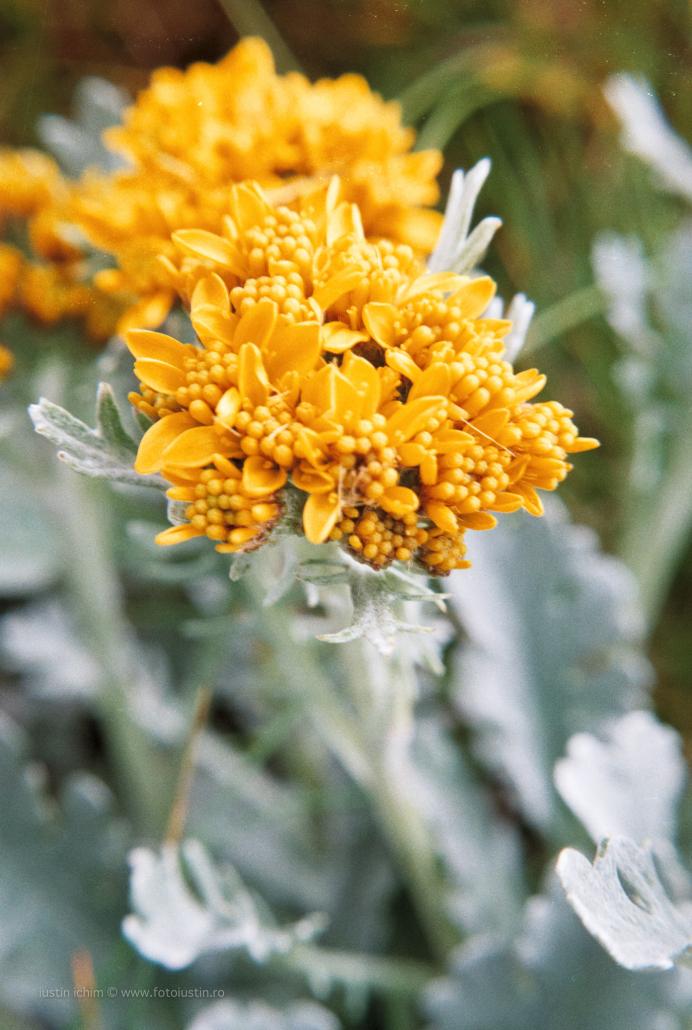 Jacobaea incana subsp. carniolica