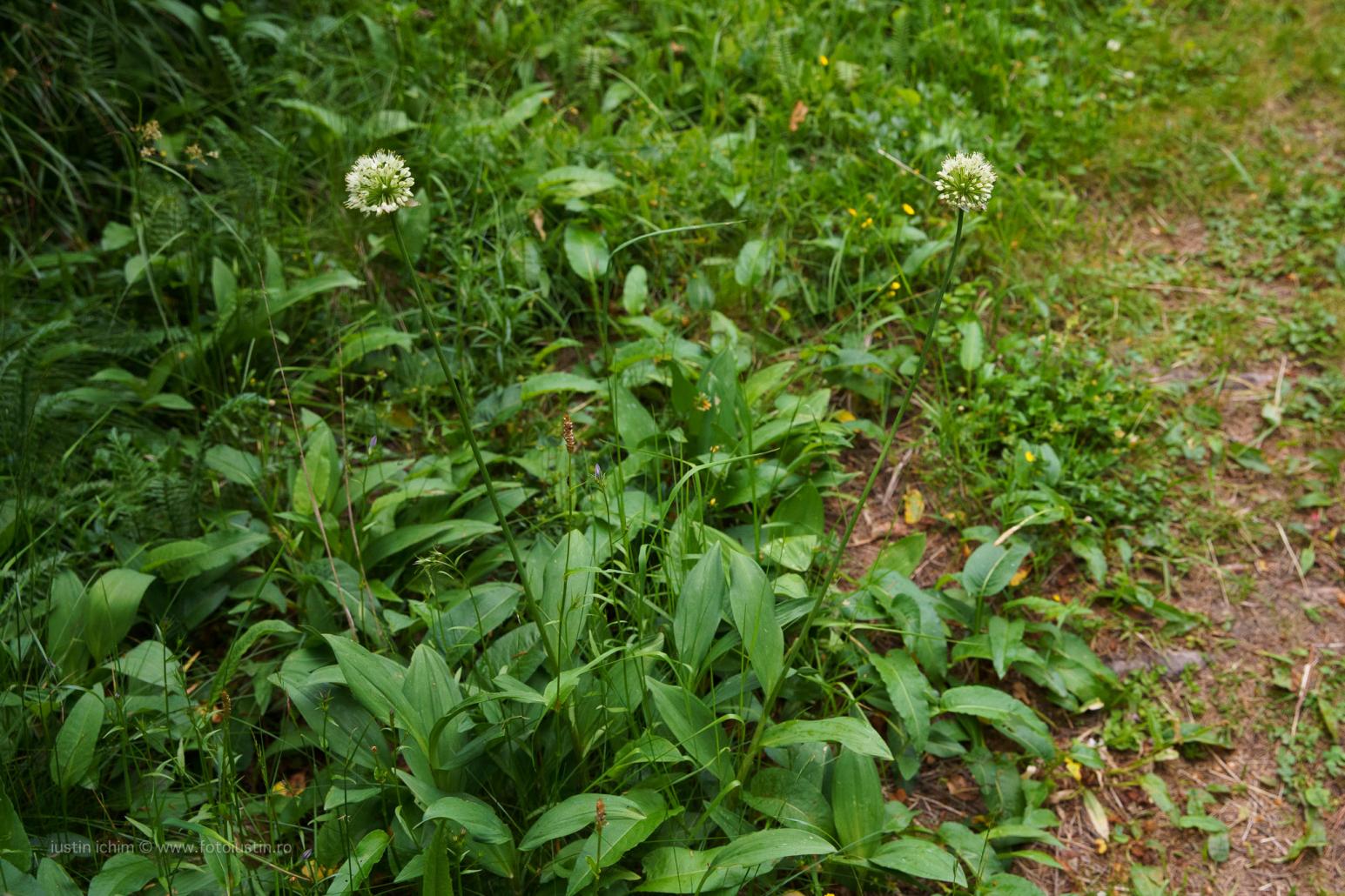 Allium victorialis, Ceapă de munte
