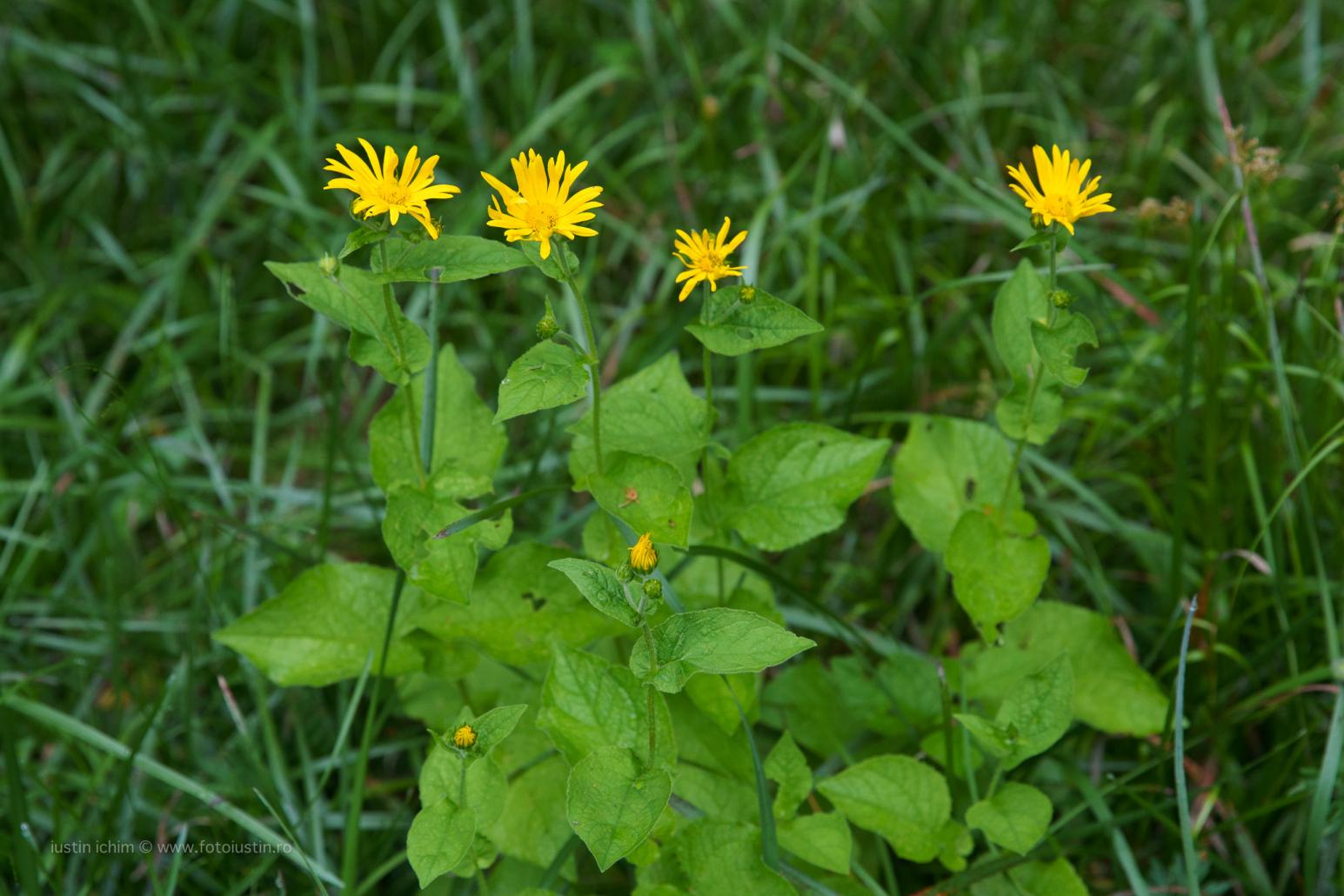 Doronicum austriacum, Iarba ciutei