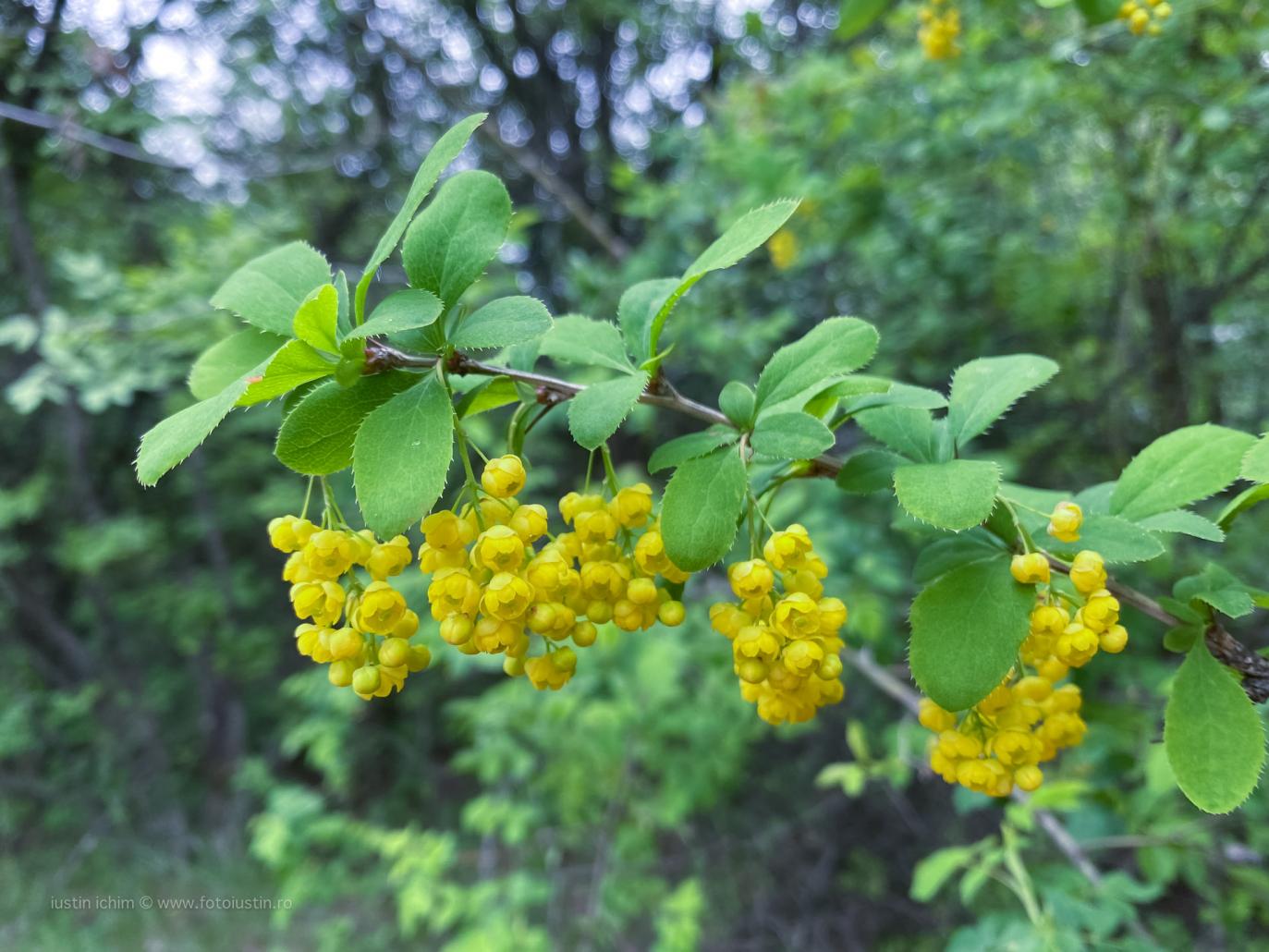 Berberis vulgaris, Dracila